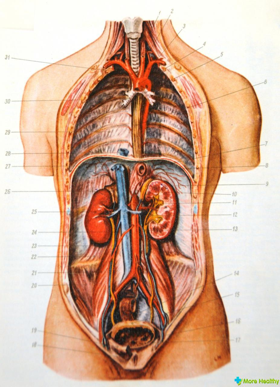 Схема внутренностей человека фото