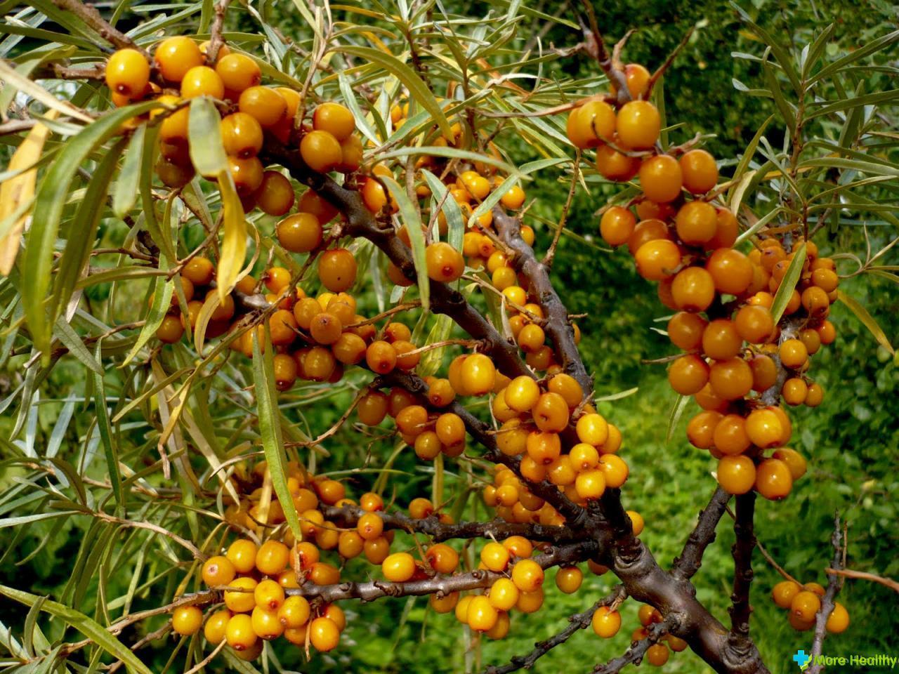 Облепиха полезные свойства листьев