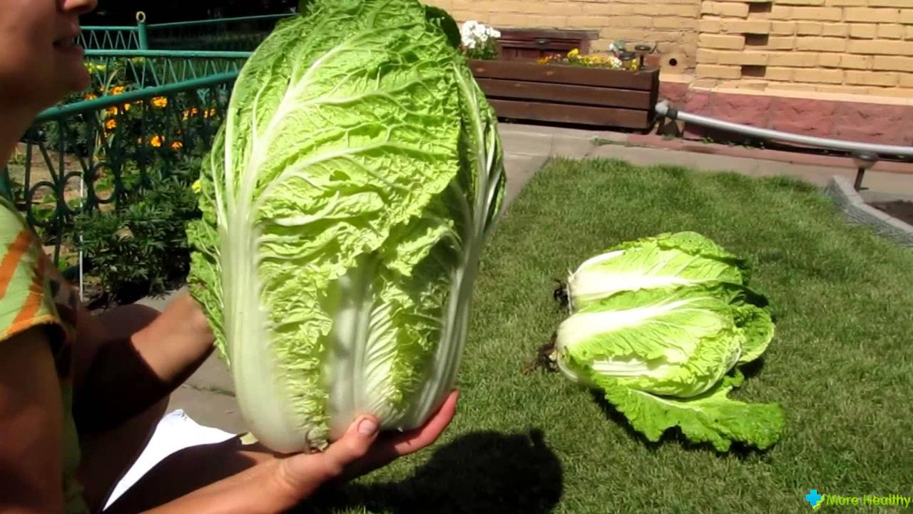 Все о выращивании капусты. Что надо знать 16