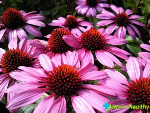 Фото 3 - Соцветия эхинацеи