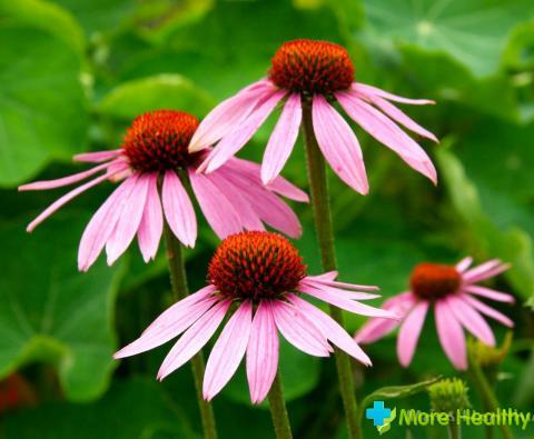 Фото 5 - Соцветия эхинацеи