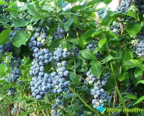 Черника садовая - панацея многих болезней
